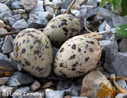 Speckled common tern eggs