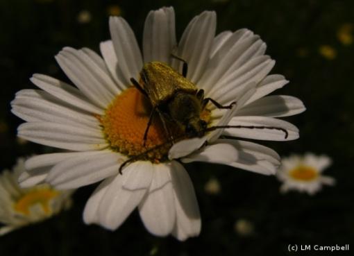 Flower Long Horn Beetle on a Daisy