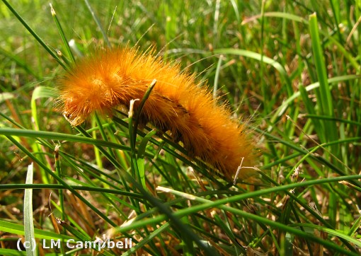 An yellow bear caterpillar posing on a blade of grass.