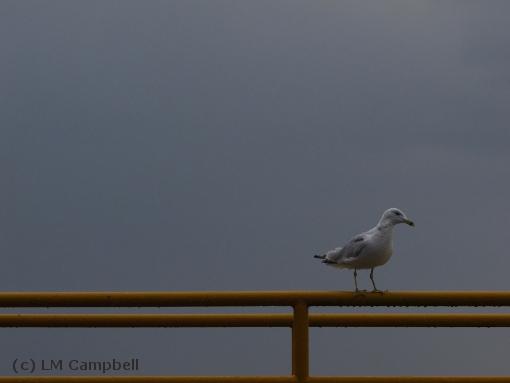 Ring-billed gull waiting for the Glenora Ferry