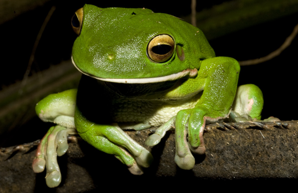 a look at the feeding habits and habitat of frogs Frogs - diet and eating habits frogs undergo the process of metamorphosis during their lifetime and as a frog turns from tadpole to a mature frog, its diet changes from herbivorous to carnivorous or omnivorous .