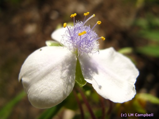 White spiderwort with purple centre
