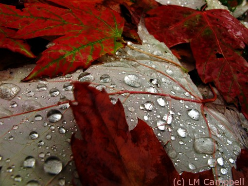 Autumn maple leaves after a rain storm