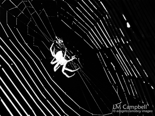 A spider and its web (black & white image)