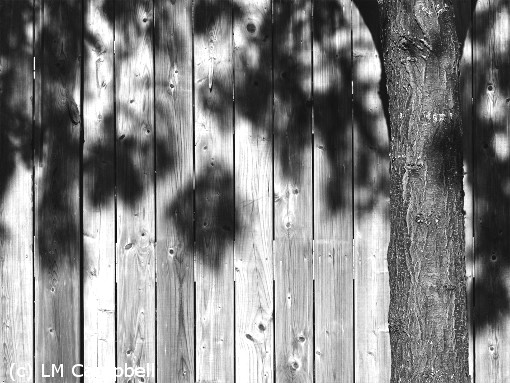 B&W image of a living tree trunk against a wooden fence, with leaf shadows
