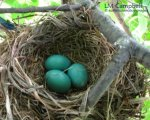 Robin's nest with three blue eggs