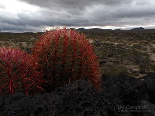 Barrel Cacti overlooking Mohave lava flow fields