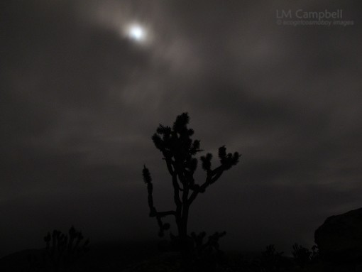 Mohave Joshua Tree by moonlight