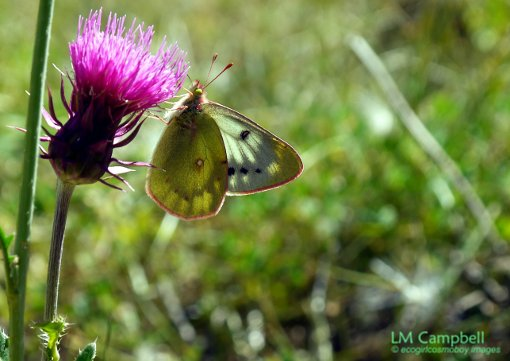 Colias spp. Butterfly on a thistle in Nahuel Huapi