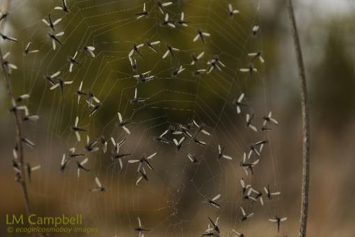 Mayflies trapped in a spiderweb