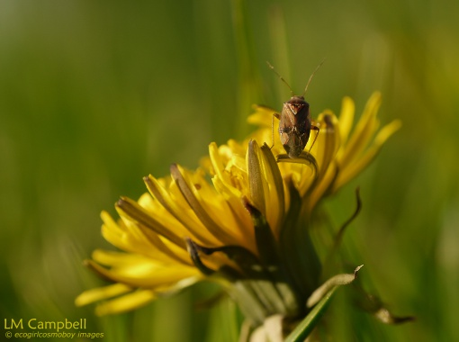 A true bug on a dandelion