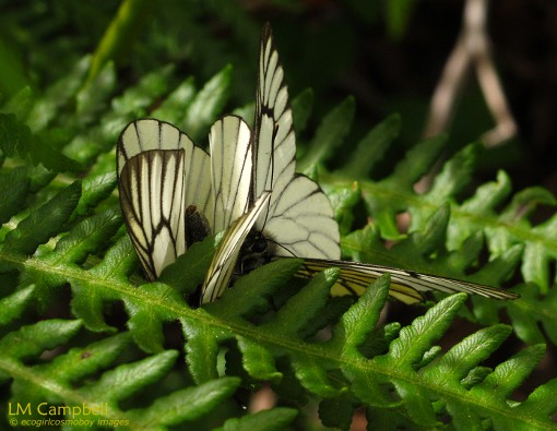 Tibetan Butterflies flitting among ferns