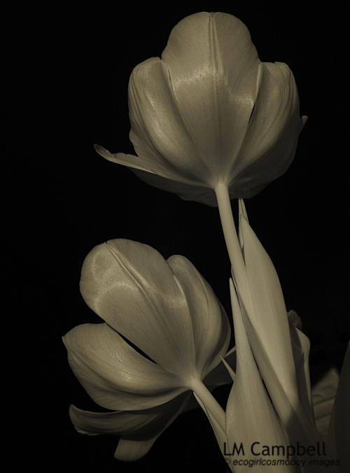 Two tulips in infrared