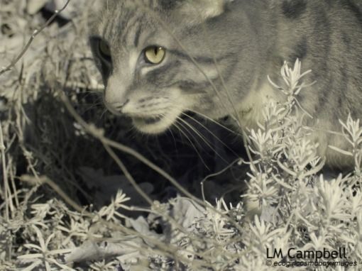 Infrared photo of a tabby cat focusing