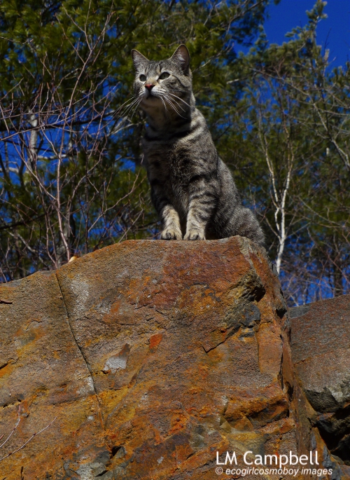 Colour photograph of grey tabby surveying all below