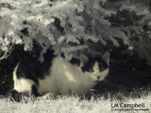 IR photograph of a black&white cat under shrubbery