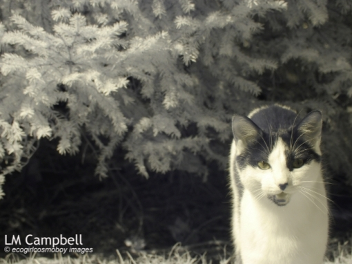 IR Black&White Cat stepping out of some shrubbery