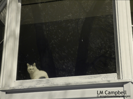 A white cat in a window with flowering tree reflection
